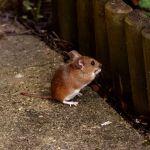 Hanta Virus Penyakit yang di Tularkan Melalui Kotoran tikus
