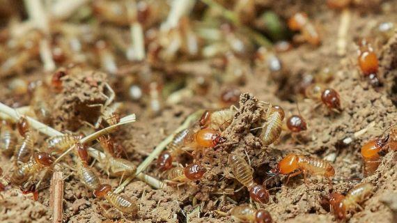 Penyebab Utama Berkembangnya Rayap di Lingkungan Rumah