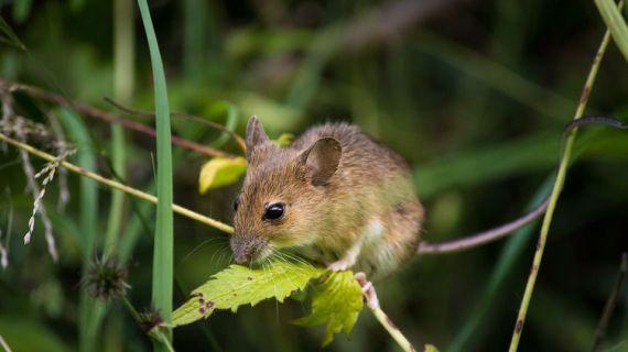 Ternyata Inilah Jenis Tikus yang Merugikan Manusia