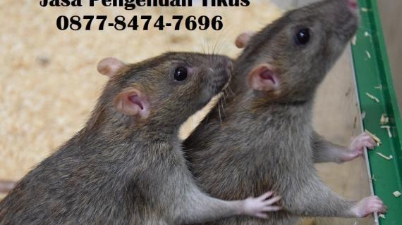 Jasa Pengendali Tikus