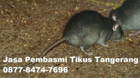 Jasa Pembasmi Tikus Tangerang