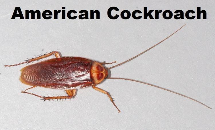 kecoa amerika
