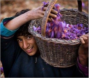 Saffron flower plucker - Kashmir