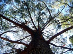 ooty-tree_main