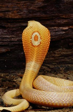 albino-monocled-cobra-big