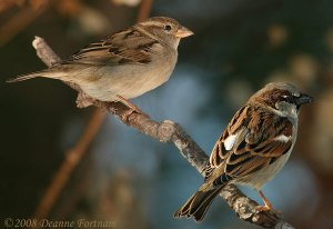 housesparrow2