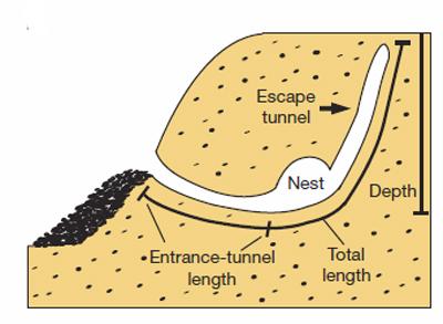 burrow-shape