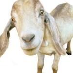 ஆறு பேர் ருசிக்கிறார்கள் – ஆடு