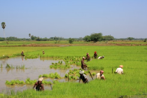 Paddy_Fields_Thanjavur