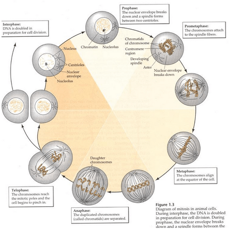 The Cell Cycle & Mitosis_Interpahse_Telophase_Anaphase_Prophase_Nucleus_Chromosomes