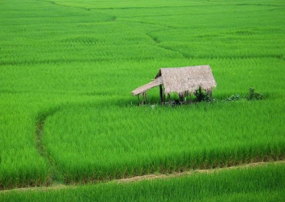 Paddy_Fields_Wiki_Rice_Harvest_Natural_Organic_Fertilizers