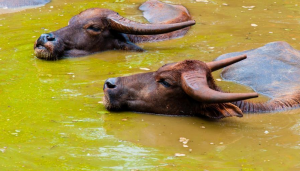 Buffalo_Mud_Bath_Water_Bull_Cow_India_Clean_Wash_Lake_Pond_Scum_River_Dirt_Stay_Immerse_Submerge