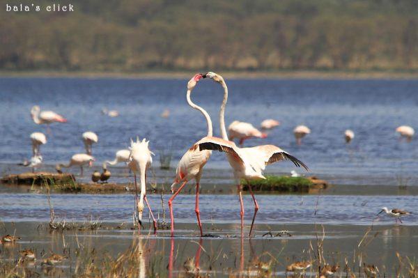 pink_flamingos_lock_lake