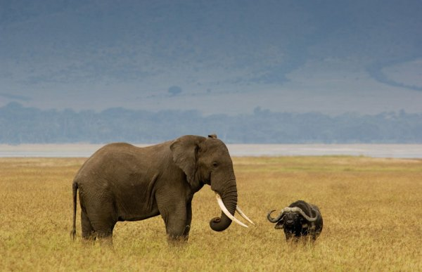 elephant-buffalo