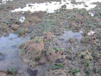 Green algae and green sponges on the reefs