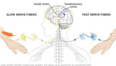 Diagram showing the differences between slow  fast nerve fibres.