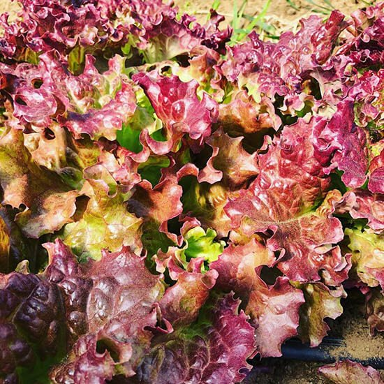 Red lettuce from Liberation Farms
