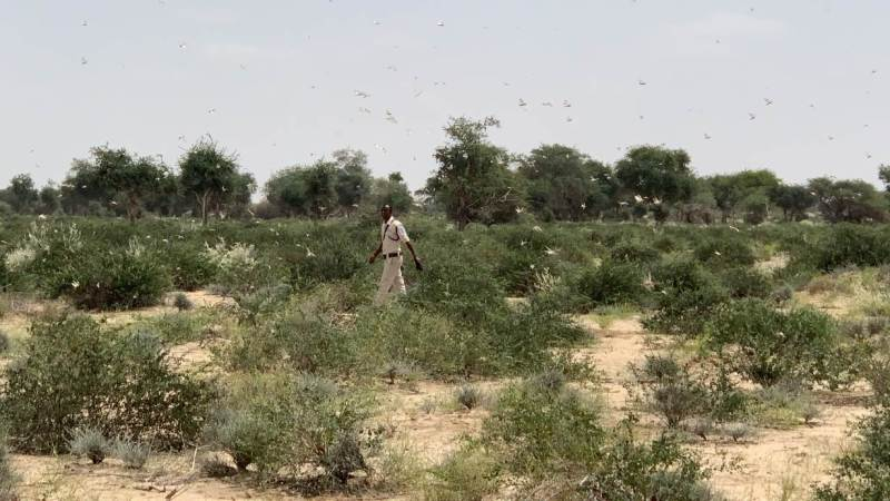 A policeman walks through a swarm of adolescent locust in Awdal