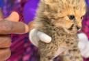 A cheetah cub receives care