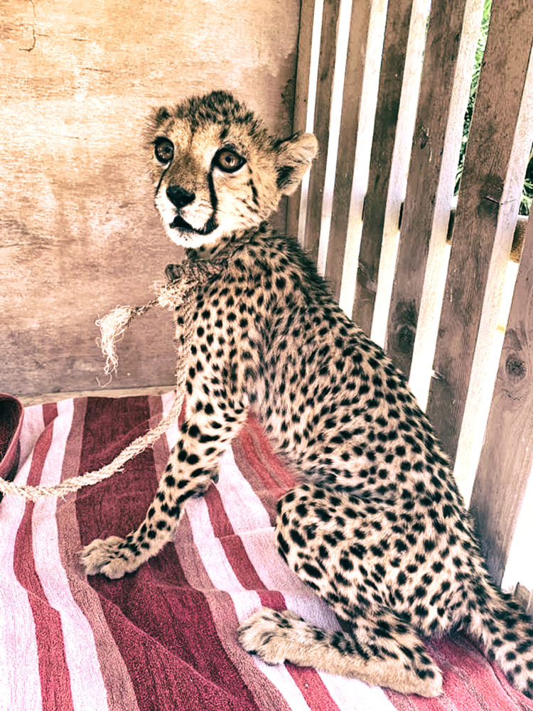 A six-month-old cheetah cub