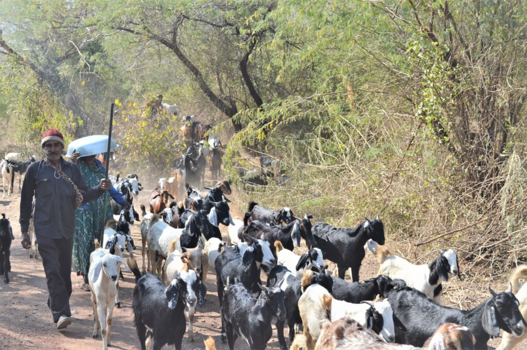 A Herd of Goats, Champaner Pavagadh