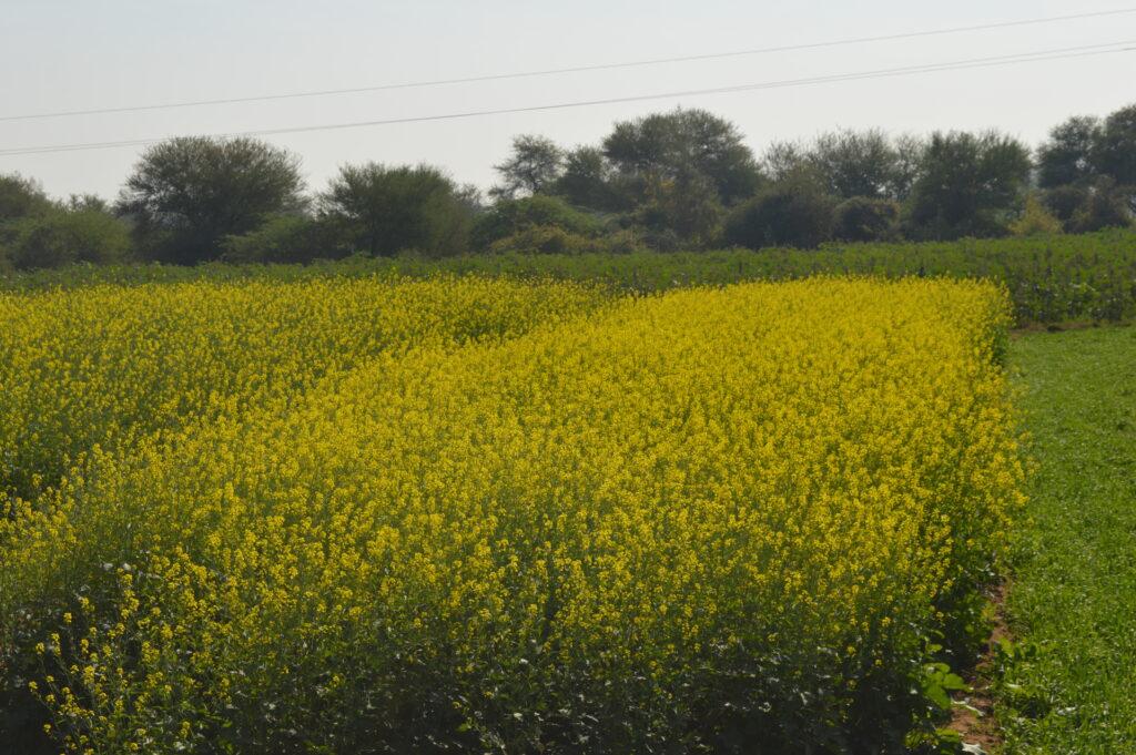 Yellow Mustard Fields en route to Modera