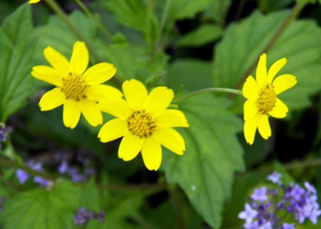 Flowers, Kaas Plateau