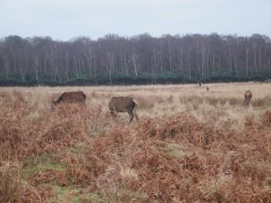 Deer at Richmond Park, London