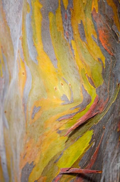 Rainbow Eucalyptus at Naples Botanical Garden.
