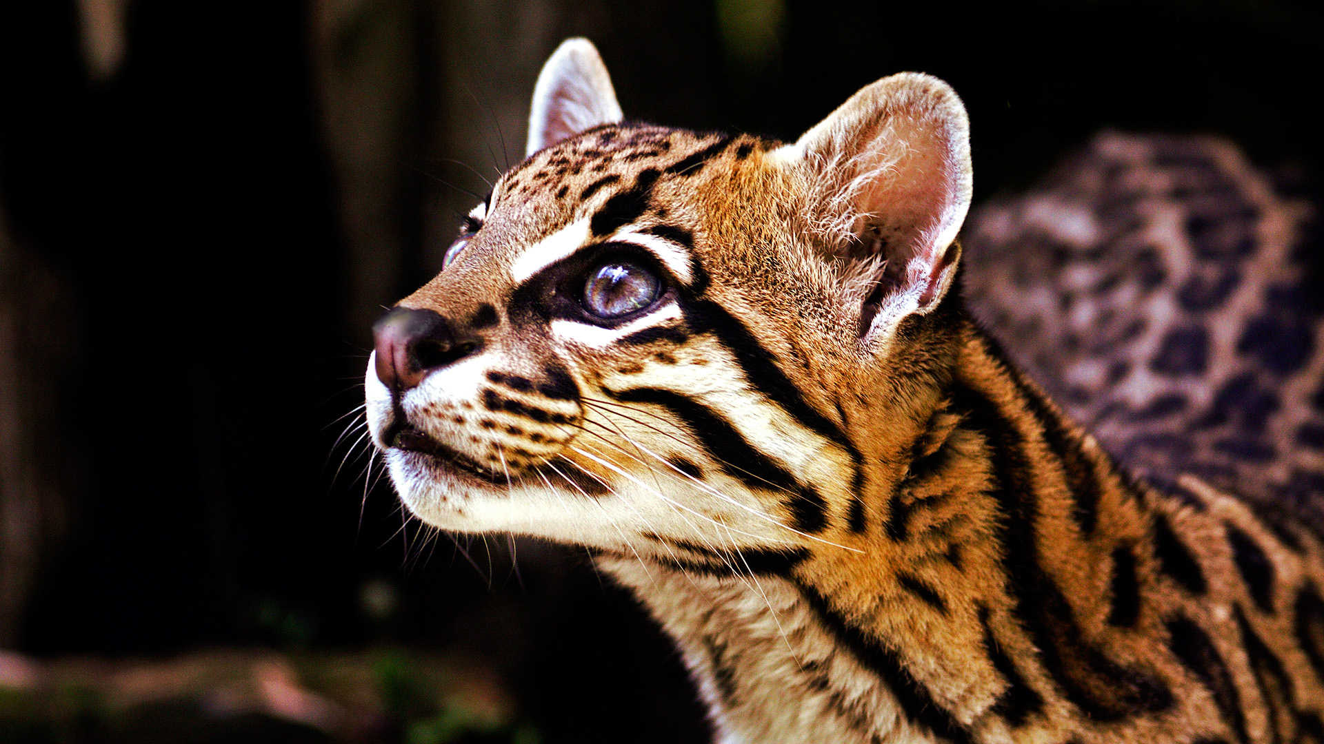 10 Facts About Ocelots Some Interesting Facts