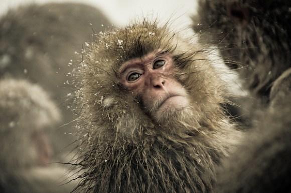 Fotos incríveis de macacos da neve
