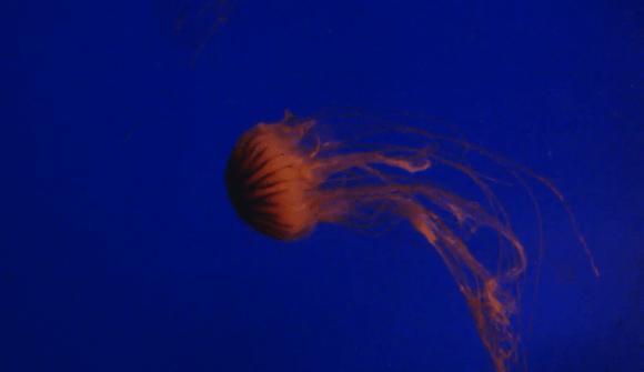Aquário Vancouver - Câmeras - Água-viva 2
