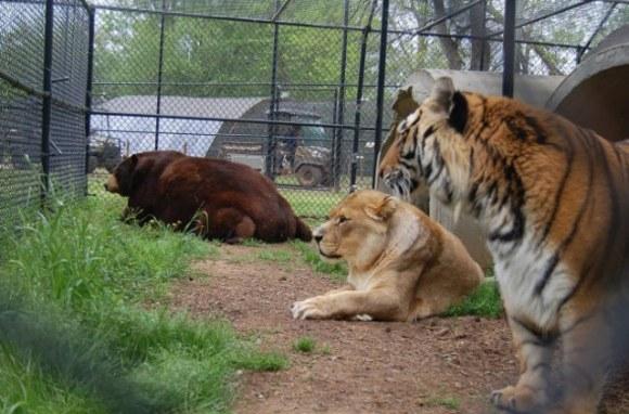 leão tigre urso amigos (2)