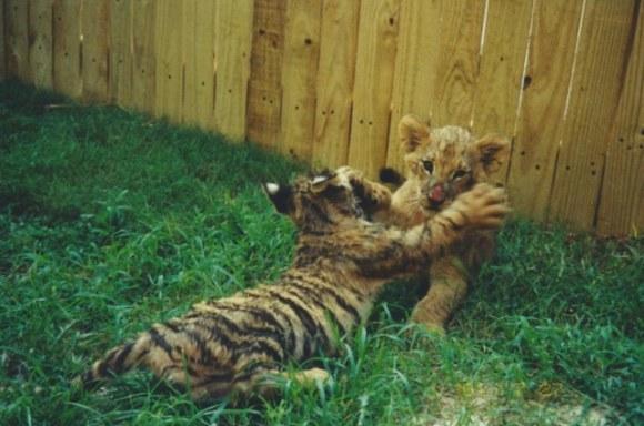 leão tigre urso amigos (3)