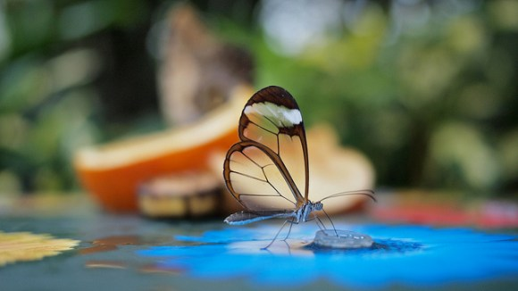 borboleta asasa de vidro
