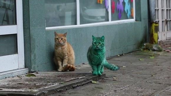 Gato Verde da Bulgária 7