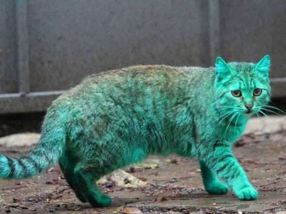 Gato Verde da Bulgária 9