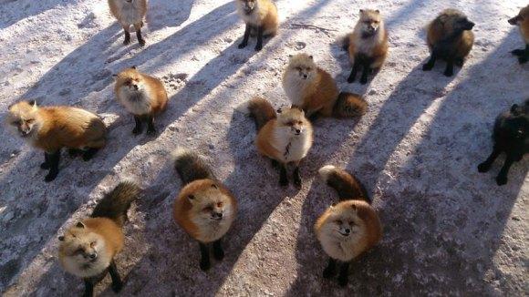 zao-fox-village-japan-14[1]