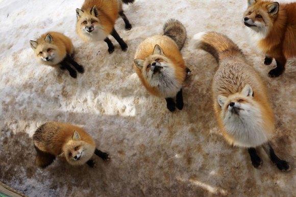 zao-fox-village-japan-23[1]