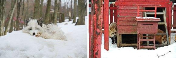 zao-fox-village-japan-39[1]