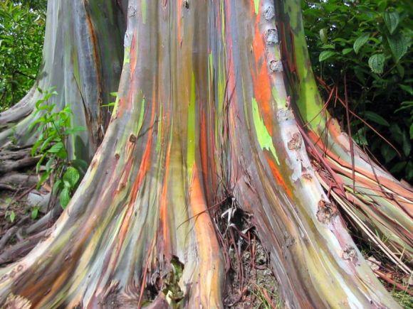 Eucalyptus_deglupta-base