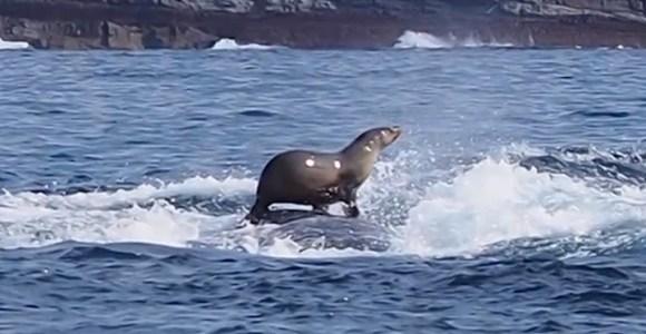 """Essa foca estava """"surfando"""" sobre uma baleia quando foi fotografada"""