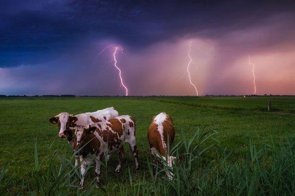 Vacas pastando em primeiro plano e raios ao fundo