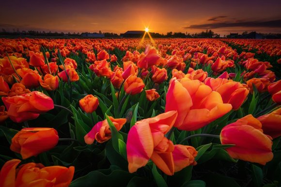 Tulipas laranjas e sol ao fundo