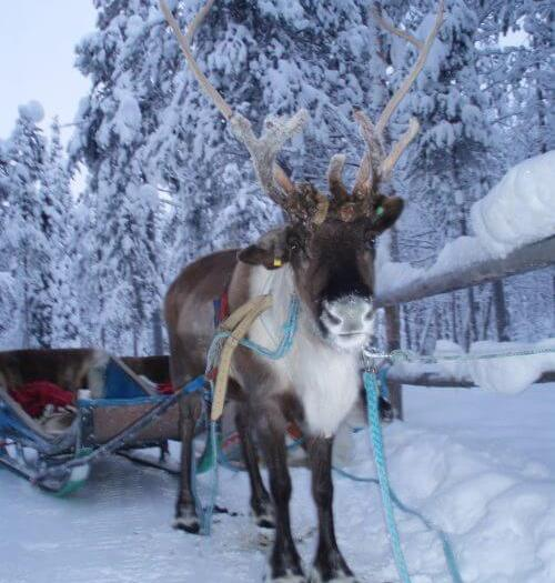 rendier fins lapland rendiertocht