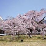 京都醍醐寺へ見ごろの桜のお花見へ行って来ました!