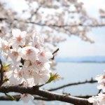 滋賀の桜の名所「海津大崎」で桜の見ごろのお花見へ行って来ました!
