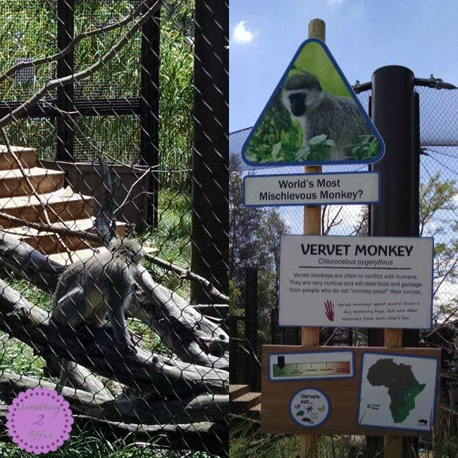 Columbus Zoo Vervet Monkey