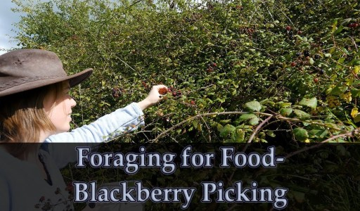 Jo Goes Foraging for Blackberries