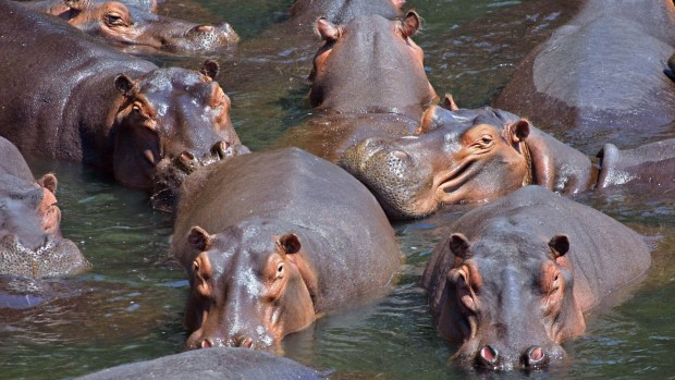 Hippo group